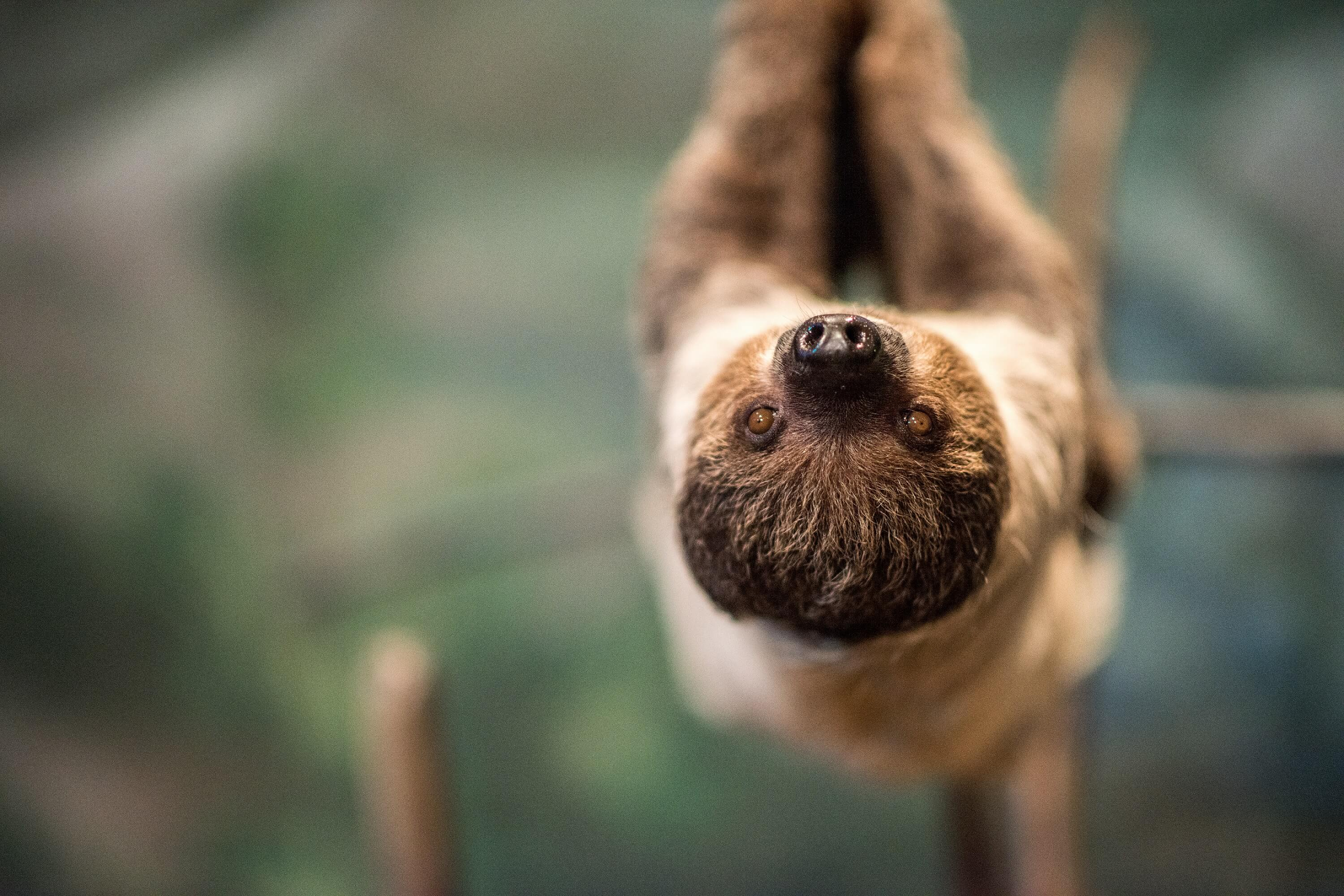 National Aviary Sloth